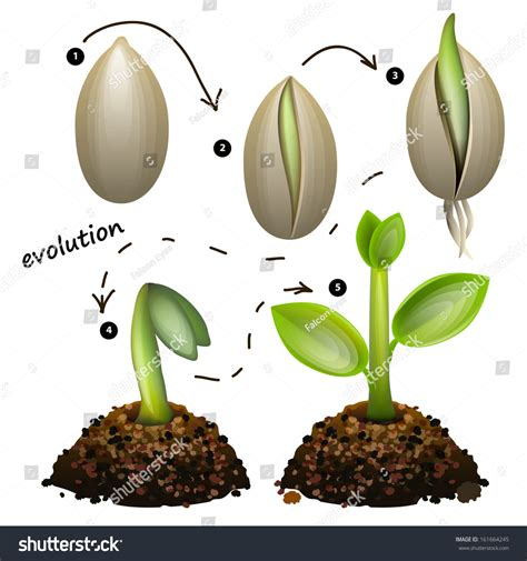 Stages Of Plant Growth Isolated On White Background Stock Vector Illustration 161664245