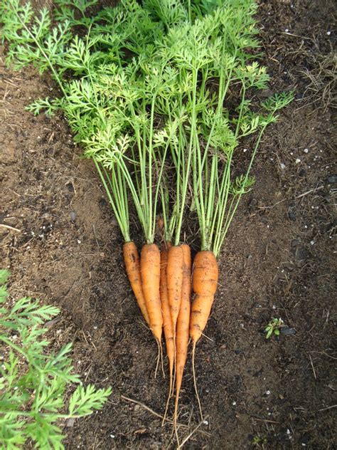 how to carrots from the garden growing carrots how to seed germinate grow harvest