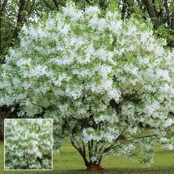 fringe tree grancy greybeard this unique bloomer is like no other white fringy