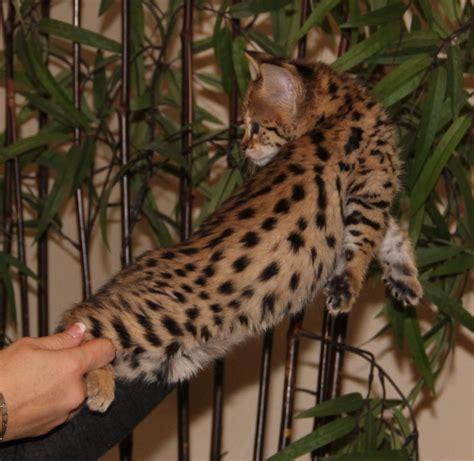 savannah kittens select exotics savannah cats
