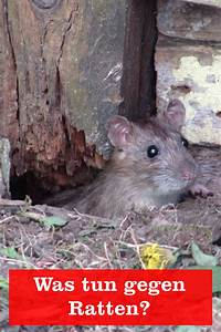 Was Tun Gegen Ratten : ratten im garten vertreiben inspirierend was kann man gegen ratten tun gartenbob der garten ~ A.2002-acura-tl-radio.info Haus und Dekorationen