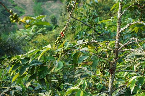 The coffee farmers pick the coffee cherries, dry them, and sort them all by hand. Rwanda Tries To Persuade Its Citizens To Drink The Coffee ...