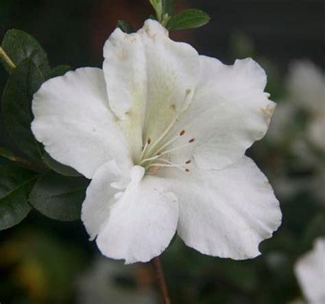 tanaman azalea putih single bibitbungacom