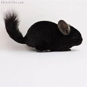 Chinchillas.com Auction - 16157 Ebony Quasi Locken Female ...