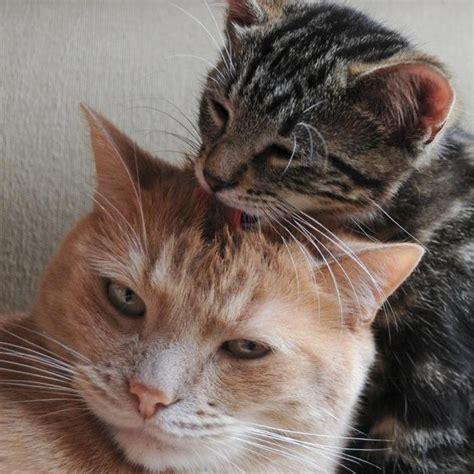la cohabitation entre chats comportement du chat education chats