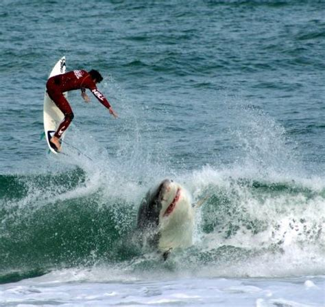 Great White Shark Jumping Out Of Water Wallpaper Nota Aos Visitantes Trowes