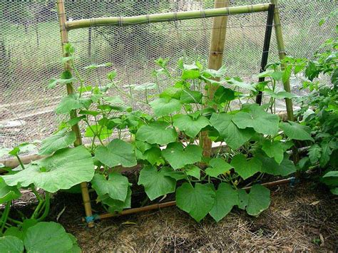 growing cucumbers on a trellis how to grow plants on trellises corner