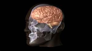 Brain Lobe    Central Nervous System    Computer Animation