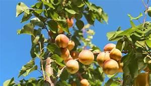 Wann Schneidet Man Hortensien Zurück : aprikosenbaum schneiden der richtige schnitt f r mehr fr chte ~ Lizthompson.info Haus und Dekorationen