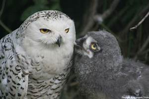 Interesting facts about snowy owls | Just Fun Facts