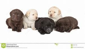 Five Labrador Retriever Puppies Royalty Free Stock Photos ...