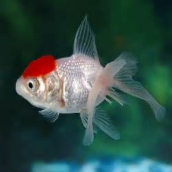 Red Cap Oranda Goldfish