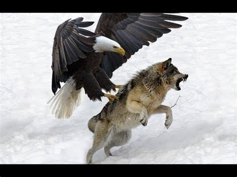 worlds largest eagle attack eagles  bears  fox