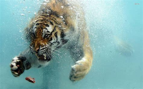 Water Animal Wallpaper - bengal tiger in water hd bengal tiger in water