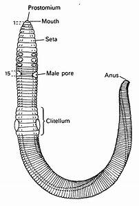Annelida Roundworm Diagram