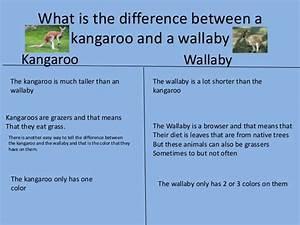 Kangaroos And Wallabies Bundle Powerpoints Powerpoint