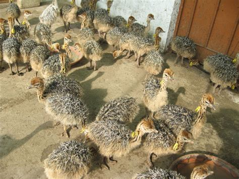 pak arabian ostrich company