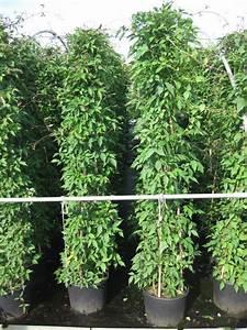 Immergrüne Kletterpflanze Für Zaun : bildergalerie von wundersch nen rank und kletterpflanzen ~ Michelbontemps.com Haus und Dekorationen