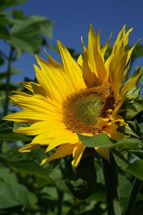sunflower  blue sky  daytime  stock photo
