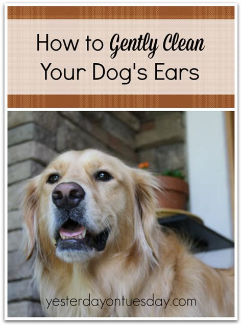 how to clean a s ears how to clean your dog s ears yesterday on tuesday