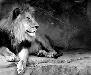 Send black and white lion ecard, postcard, black and white ...
