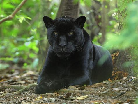 Panther Black Leopard Fun Animals Wiki Videos Pictures
