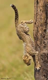 Cheetah South Africa Safari