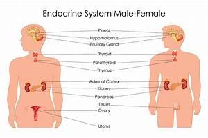The Endocrine System  U2013 Stemtalksnc