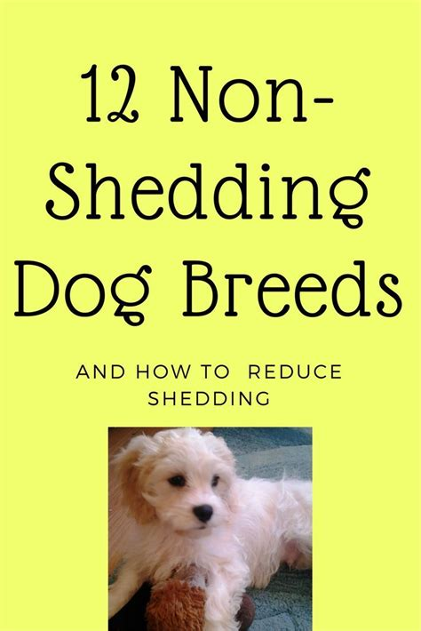 Reducing Shedding In Dogs by How To Reduce Shedding In Dogs 12 Breeds That Don T