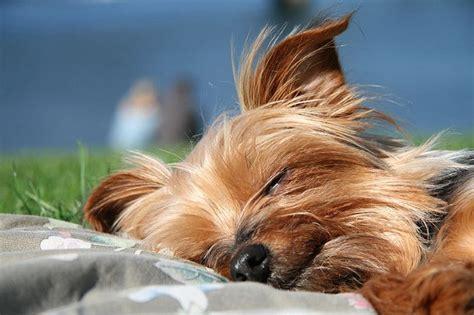 yorkshire terrier rassebeschreibung wesen haltung und