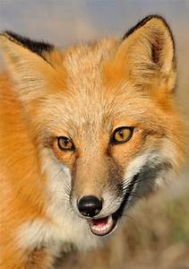 Red Fox jigsaw puzzle in Animals puzzles on ...  Animal
