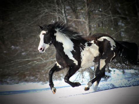 black  white horse running  snow desktop wallpaper