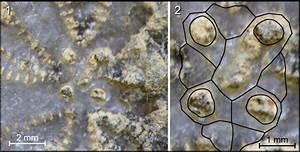 Heteraster Couloni  Specimen Hcgap C  1