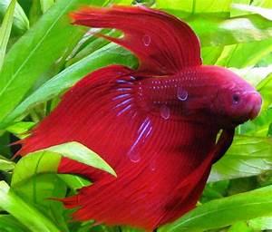 Fish Animal | Freshwater Fish Wallpaper - HD Wallpapers ...