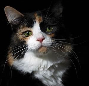calico, cat, on, black, stock, photo, , image, of, black, , portrait