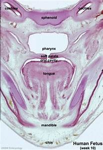 Diagram Of Fetal Ear