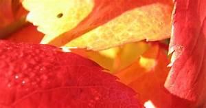 Wann Wein Pflanzen : wildfind wilder wein 1 ~ Orissabook.com Haus und Dekorationen
