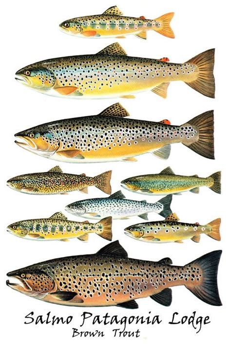 brown trout   fly fishing info follow