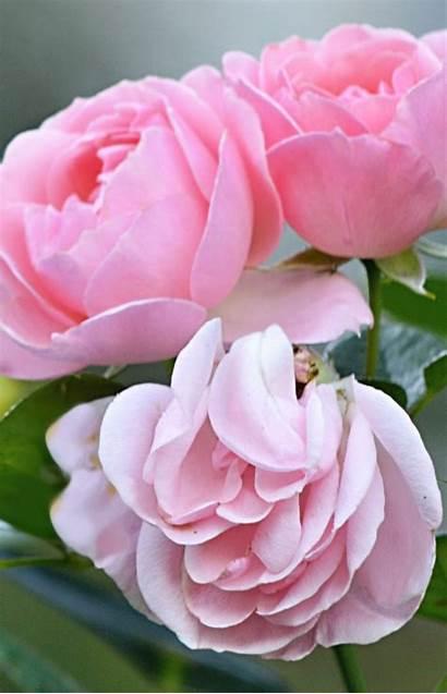 Flowers Fresh Rose Roses Flower