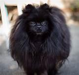 Black Pomeranian - Black Miniature Pomeranian Dog | Х ...