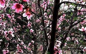 How To Prune A Nectarine Tree Diagram