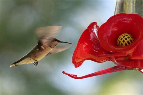 hummingbird feeder  attract hummingbirds   yard