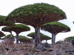 most amazing facts about unique tree of dragon blood dracaena cinnabari