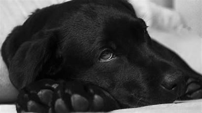 Labrador Popular