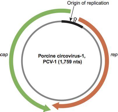 tree of rings circoviridae figures ssdna viruses 2011 ssdna