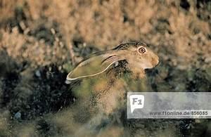 Blumenarten Az Mit Bild : antilopenhase lepus alleni mit ohren legte zur ck arizona usa lizenzpflichtiges bild ~ Whattoseeinmadrid.com Haus und Dekorationen