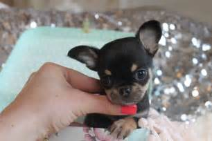 Black and Tan Chihuahua Puppies