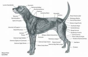 Dog Anatomy Hind Leg
