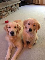 Baby Golden Retriever Puppy