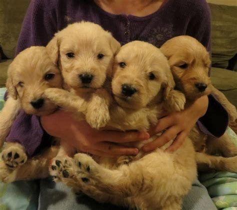 bright goldendoodles labradoodles